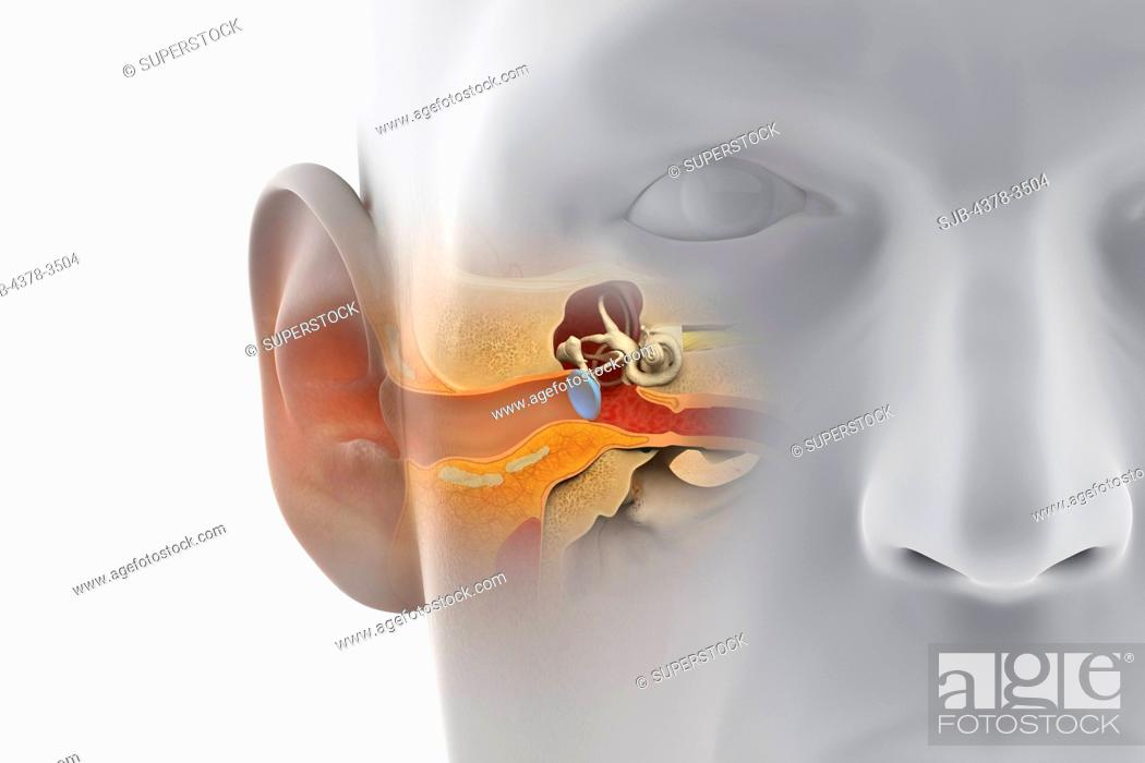 A sectional view of the human head revealing the anatomy of the ear ...