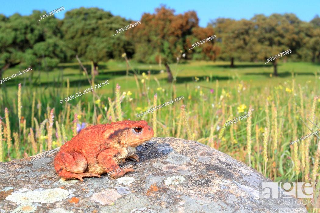 Stock Photo: Common toad (Bufo bufo), Parque Nacional de Monfrague, Extremadura, Spain.
