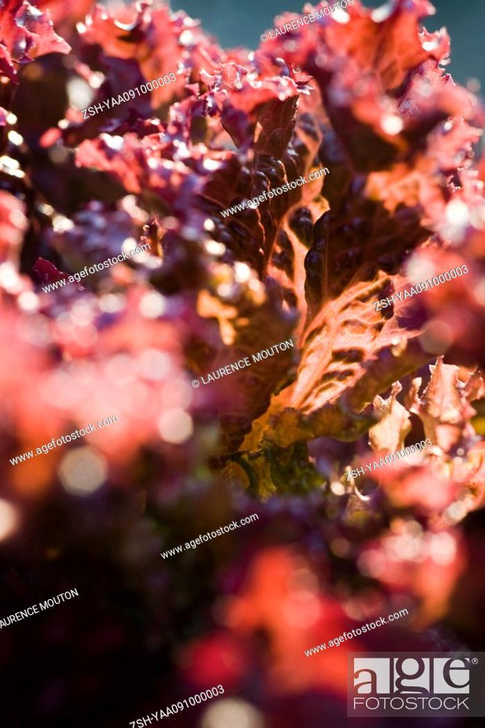 Stock Photo: Merlot lettuce, extreme close-up.