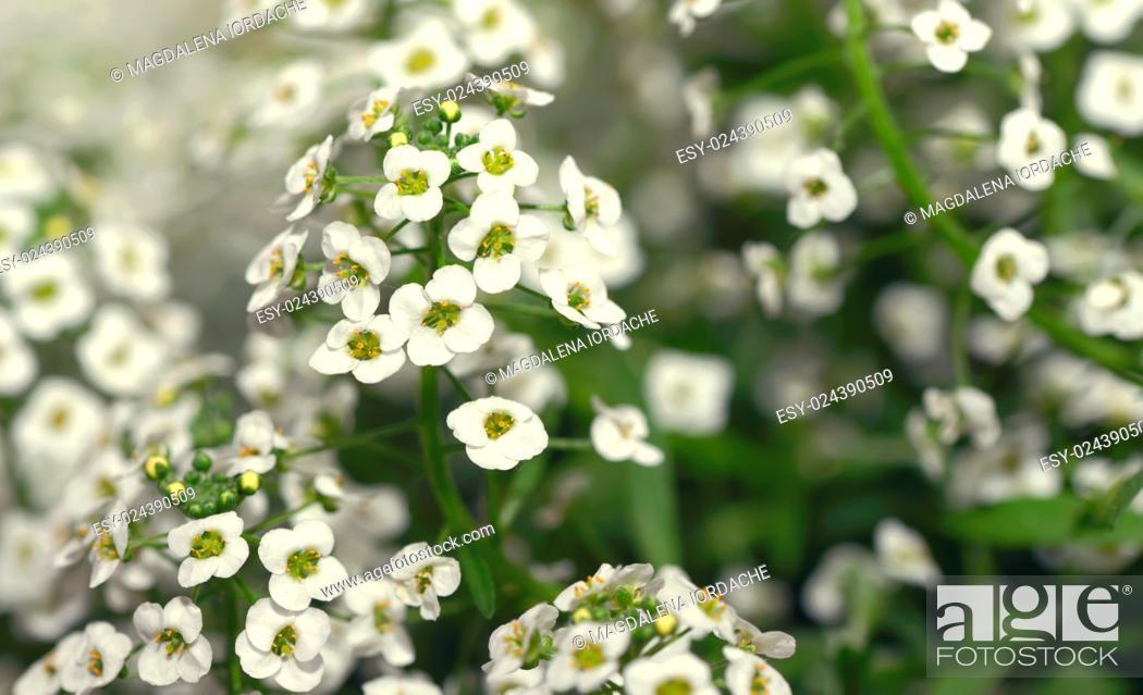 Photo de stock: Little white Lobularia Maritima flowers - sweet alyssum.