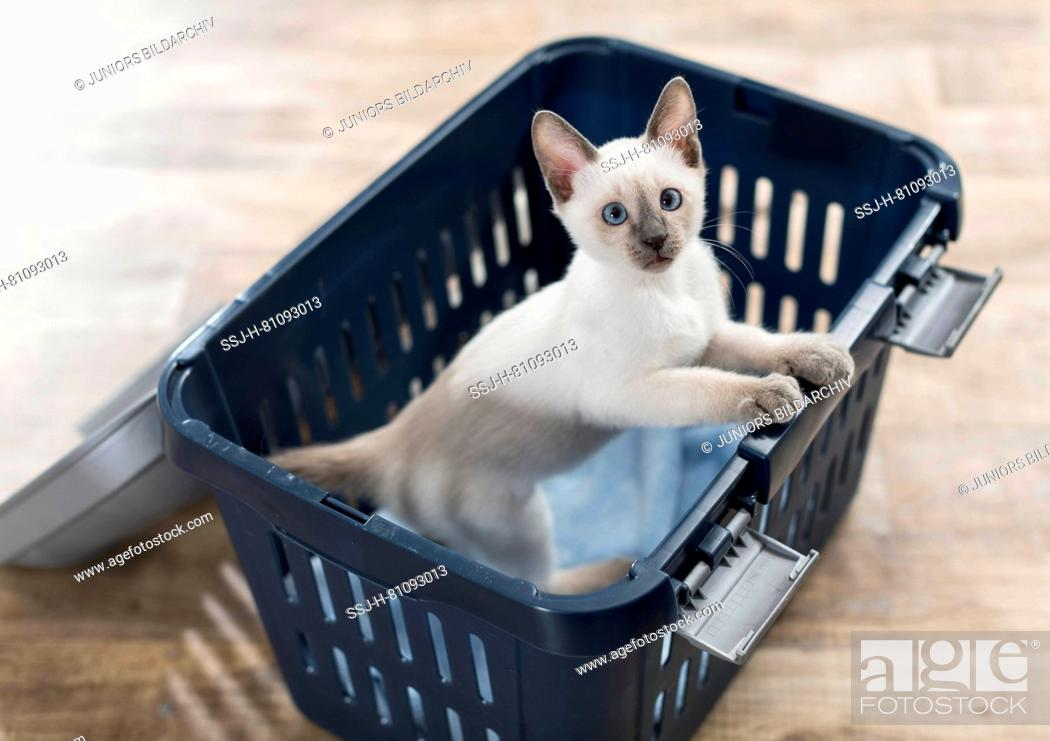 Stock Photo: Siamese cat. Kitten in a pet carrier. Germany.