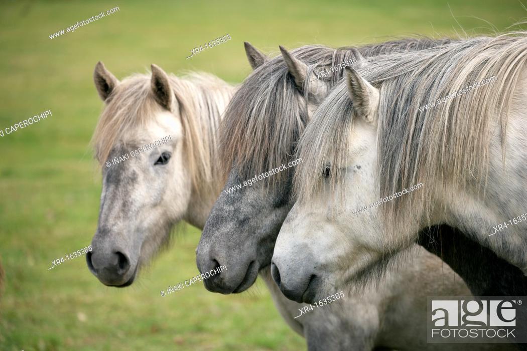 Stock Photo: Horses on Raudasandur beach, Western Fjord, Iceland.