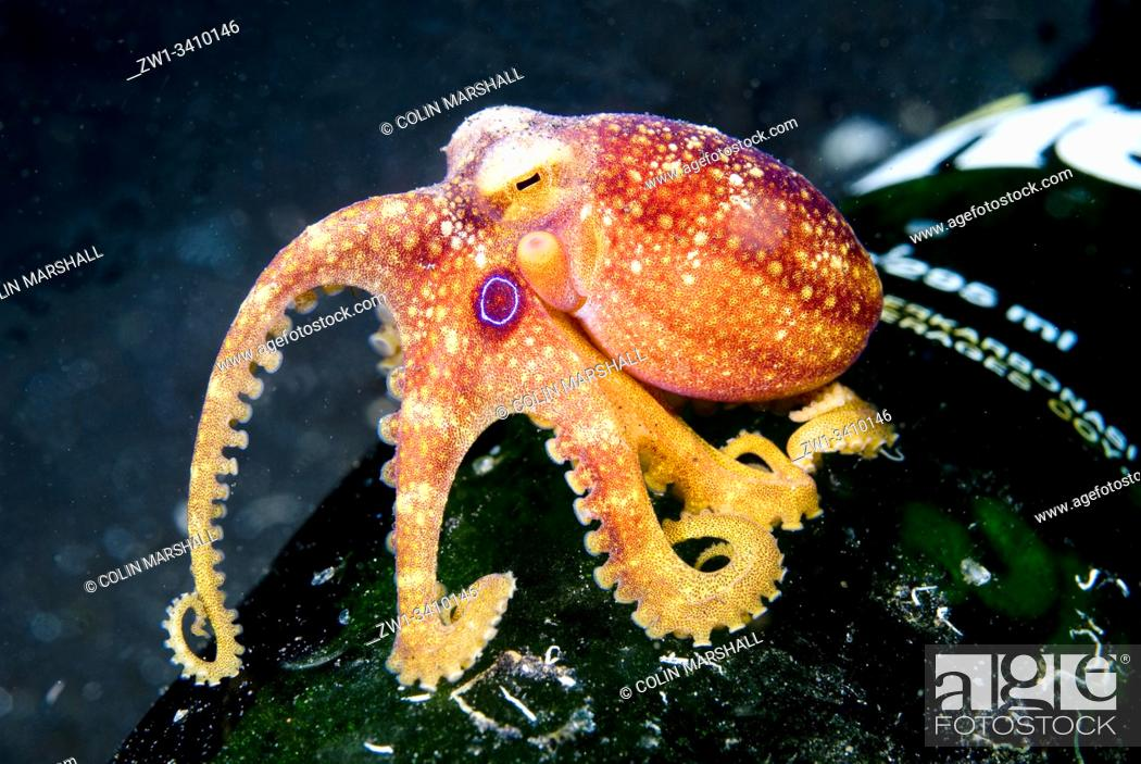 Stock Photo: Mototi Octopus (Amphioctopus siamensis, Octopodidae family) on bottle, TK3 dive site, Lembeh Straits, Sulawesi, Indonesia, Pacific Ocean.