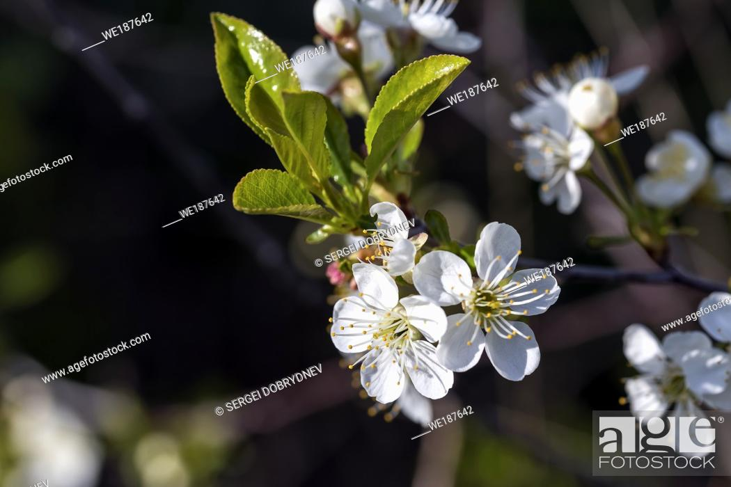 Stock Photo: Flowering cherry branch in May close-up.
