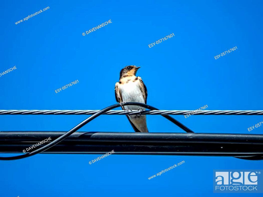 Stock Photo: A Japanese barn swallow, hirundo rustica gutturalis, perches on a power line in an apartment complex in Kanagawa, Japan.
