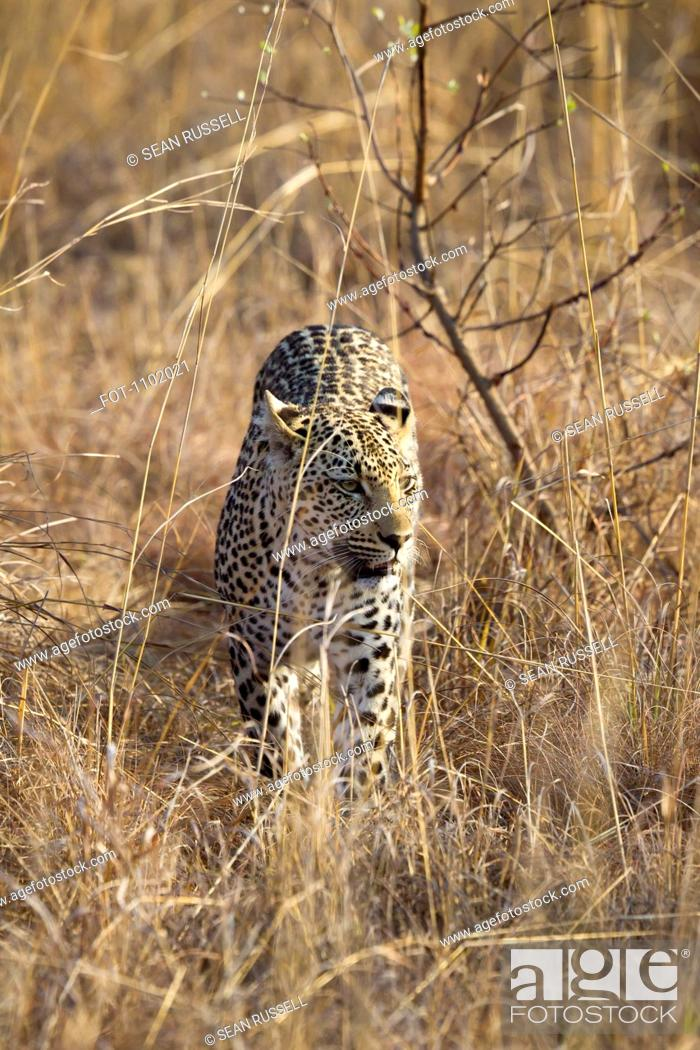 Stock Photo: A leopard stalking through grass.