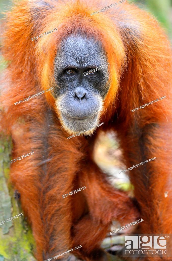 Imagen: Orangutan in the jungle in Bukit Lawang, Sumatra, Indonesia.