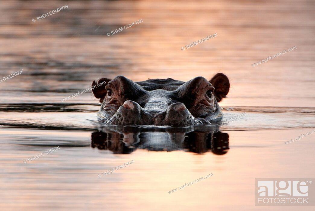 Stock Photo: Large Hippo Hippopotamus amphibius Emerging from Water  Okavango Delta, Botswana, Africa.