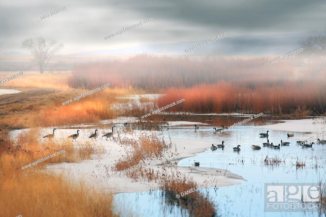 Stock Photo: Branta canadensis migrating, Canada.