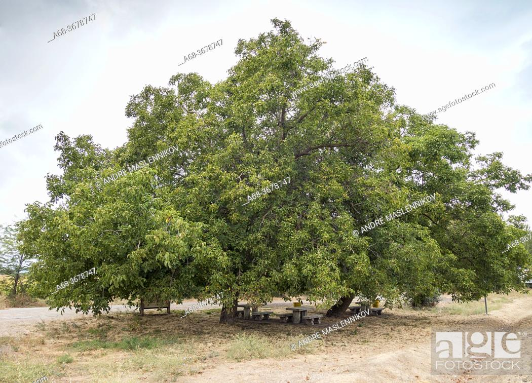 Stock Photo: Almond tree with shade underneath for tired hikers. Walking the Camino in Spain. Pilgrimage route to Santiago de Compostela.