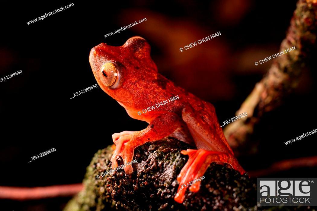 Stock Photo: Frog of borneo, Harlequin Tree Frog, Phacophorus pardalis, national park, sarawak.