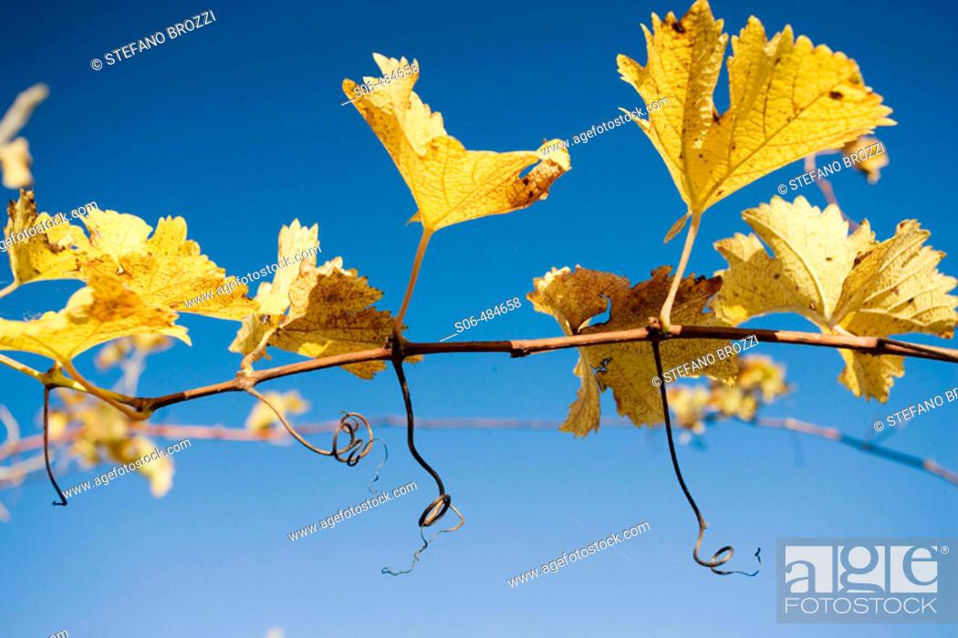 Stock Photo: Vineyard in autumn.