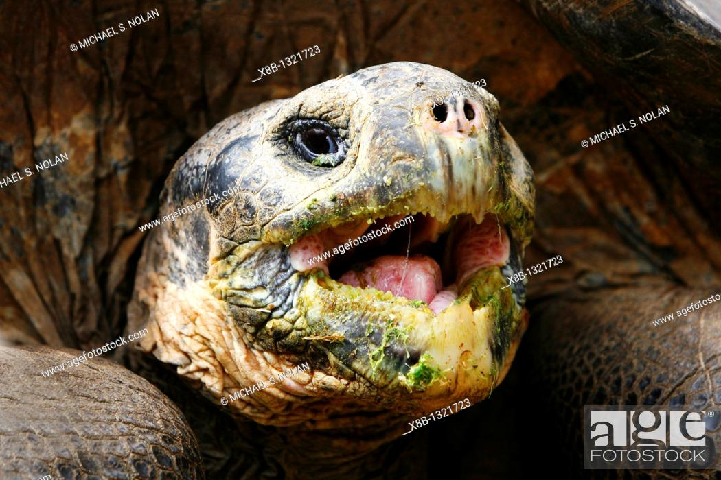 Stock Photo: Captive Galapagos giant tortoise Geochelone elephantopus head detail while being fed at the Charles Darwin Research Station on Santa Cruz Island in the.