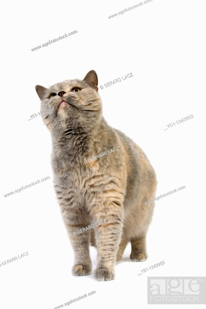 Stock Photo: BLUE CREAM BRITISH SHORTHAIR DOMESTIC CAT, FEMALE AGAINST WHITE BACKGROUND.