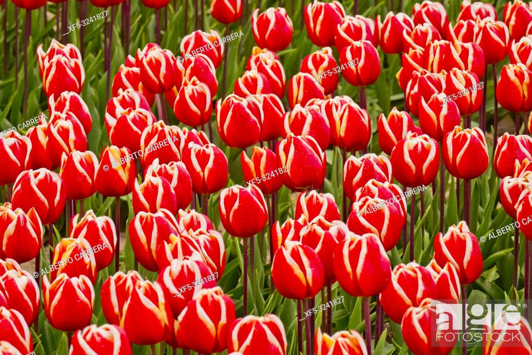 Imagen: Colorful Tulips Fields, Holland, Netherlands, Europe.