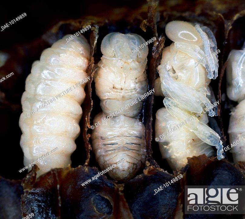 Stock Photo: Larva, pre-pupa and pupa, the three stages of a drone (male honey bee) seen in the honeycomb cells cut longitudinally, Apidae.