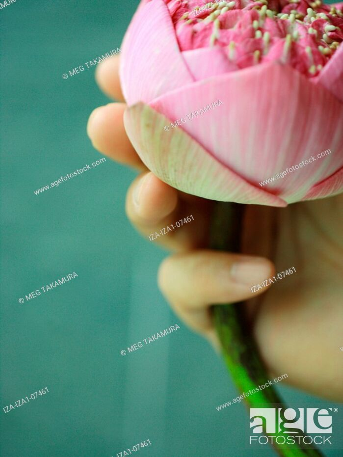 Imagen: Close-up of a person's hands holding a lotus flower.