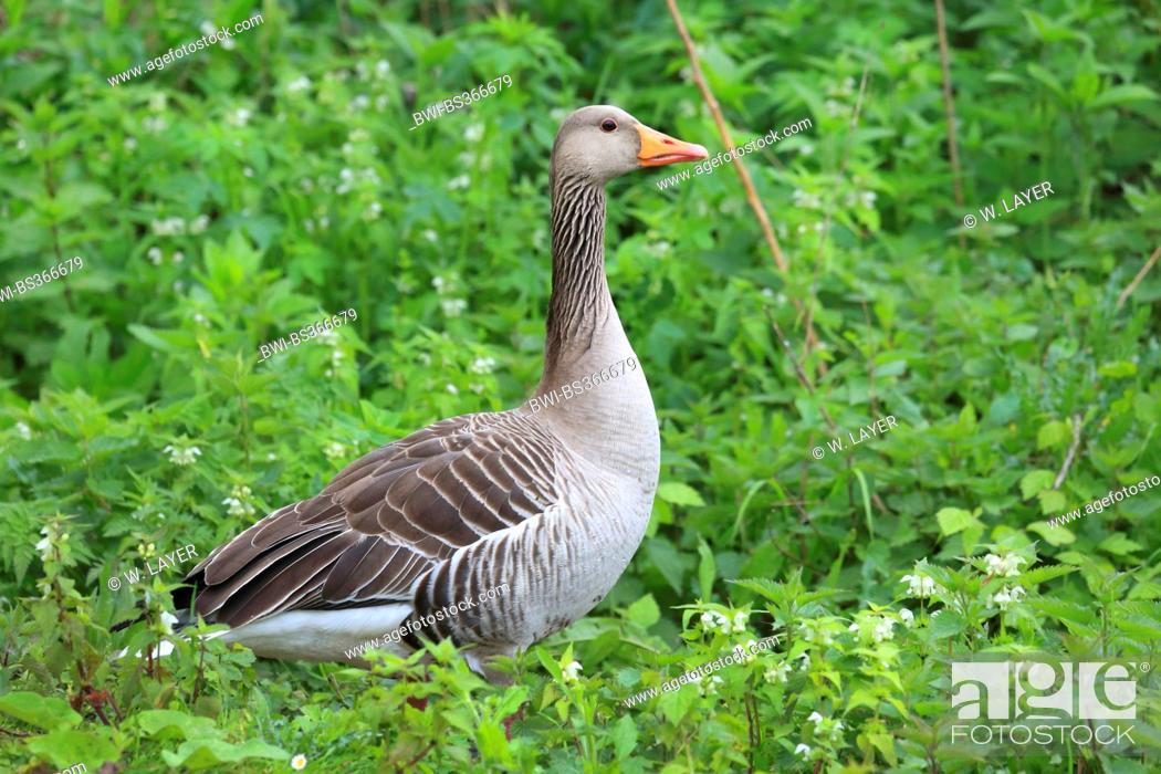 Stock Photo: greylag goose (Anser anser), in a meadow with flowering dead-nettles, Germany.