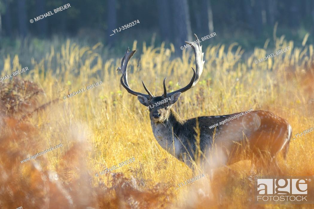 Stock Photo: Fallow deer in autumn (Cervus dama), Germany, Europe.