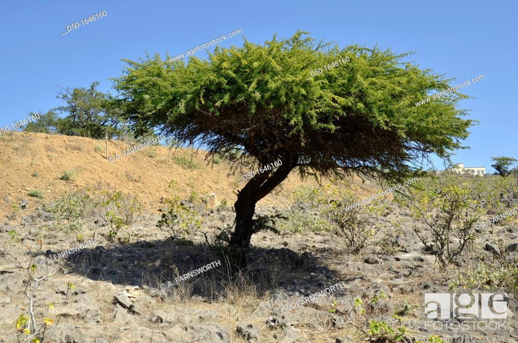 Stock Photo: Frankincense tree, used to make incense, Salalah, Oman.