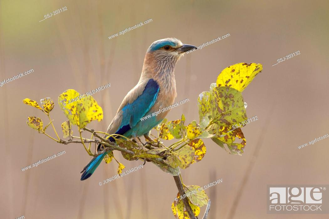 Stock Photo: Indian Roller (Coracias benghalensis), perched on twig in territory. Tadoba-Andhari Tiger-Reservat, Maharashtra, India.