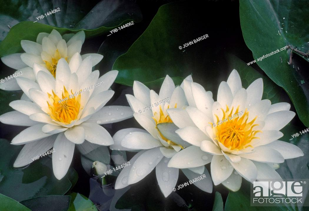 Stock Photo: American water-lily Nymphaea odorata, Columbia River National Scenic Area, southern Washington, USA.