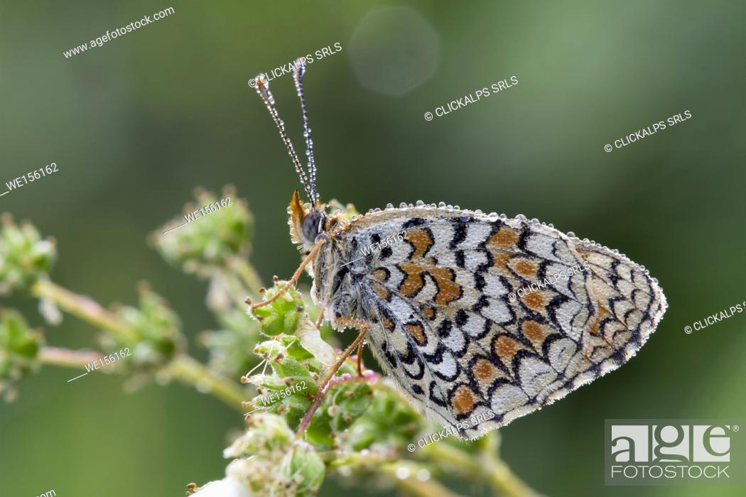 Stock Photo: Details of butterfly melitea covered by morning dew, It's waiting for the heat to fly. Lombardy, Italy.