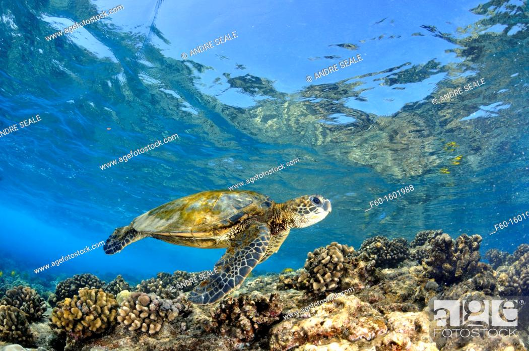 Stock Photo: Juvenile green sea turtle, Chelonia mydas, swims in shallow coral reef, Captain Cook, Big Island, Hawaii, North Pacific.