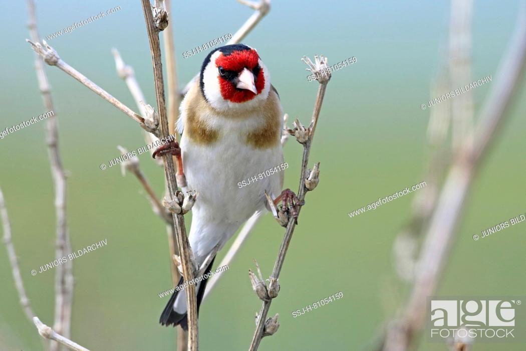 Imagen: Goldfinch (Carduelis carduelis). Adult single bird clinging to dry stalks. Lesser Caucasus, Georgia.