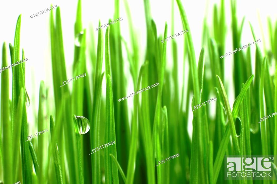 Stock Photo: Water droplets on fresh green grass.