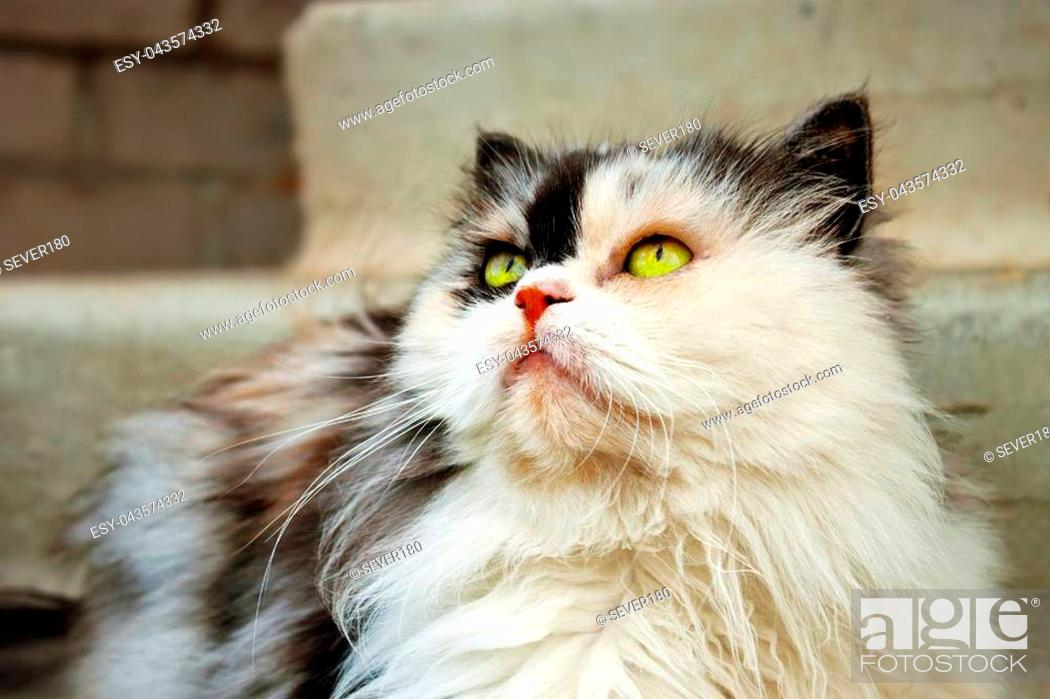 Stock Photo: Persian calico cat with green eyes.