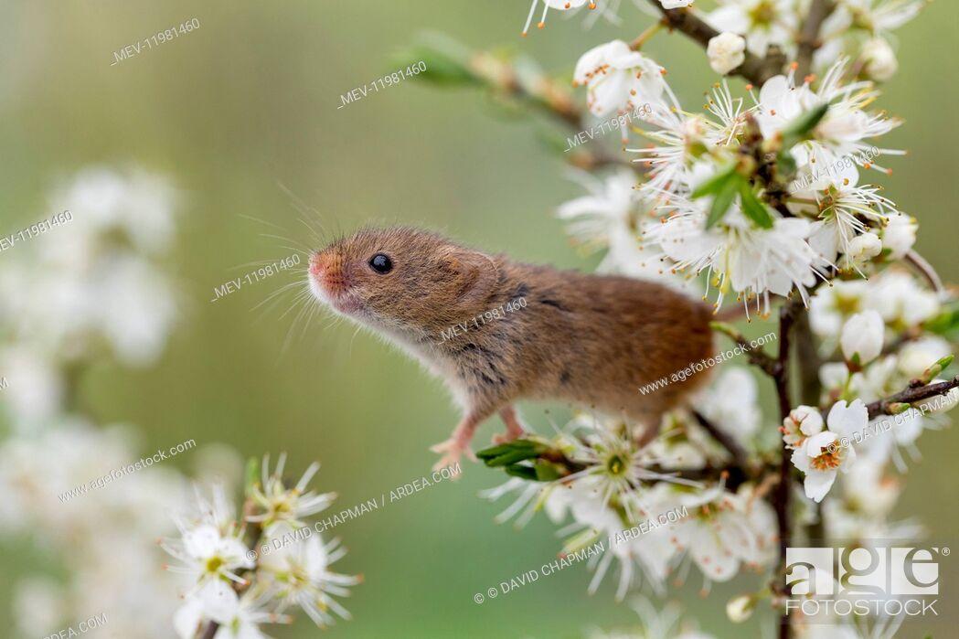 Stock Photo: Harvest Mouse - on Blackthorn Blossom - Devon - UK.