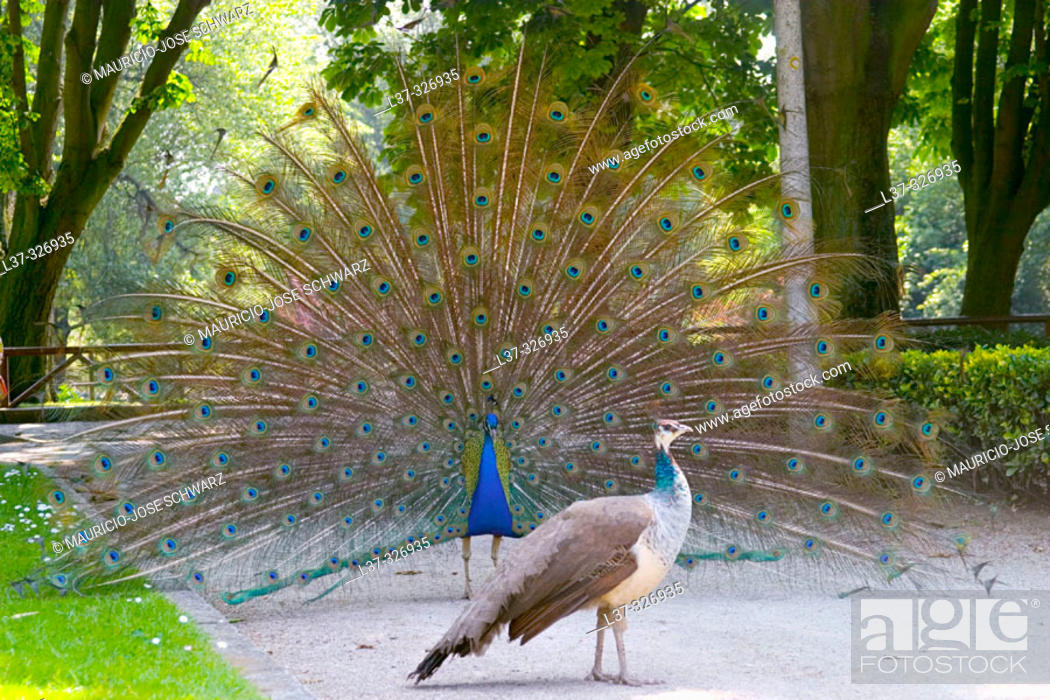 Stock Photo: Peacock (Pavo cristatus).