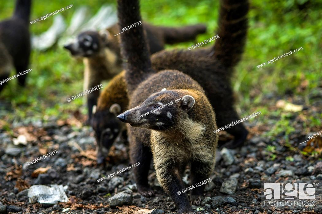 """Stock Photo: """"""""""""""""""""White-nosed coati"""""""" (Nasua narica), They prefer to sleep or rest in elevated places and niches, like the rainforest canopy, in crudely built sleeping nests."""
