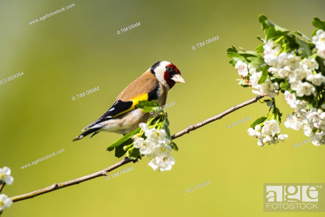 Stock Photo: A Goldfinch (Carduelis carduelis) in the Uk.