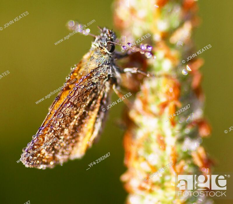 Stock Photo: Small Skipper (Thymelicus sylvestris) Butterfly covered in dew early on a summer morning.