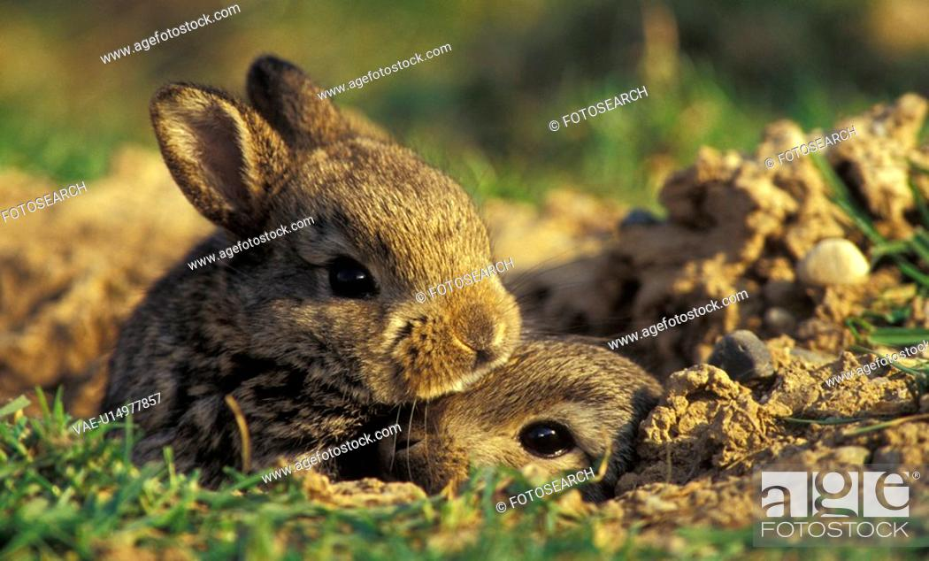 Stock Photo: erde, animals, brown, bunny.