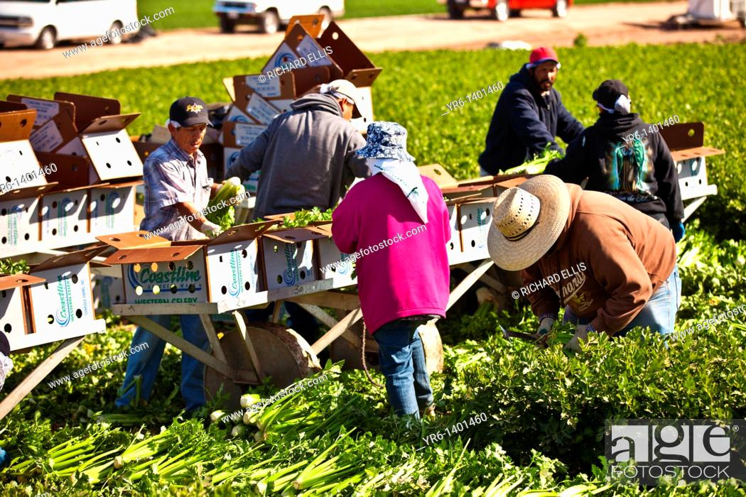 Imagen: Mexican agriculture workers harvest celery in the Imperial Valley Niland, CA.