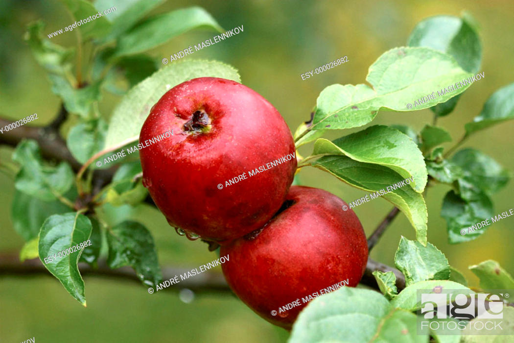 Stock Photo: Two red apples in the tree a rainy day.