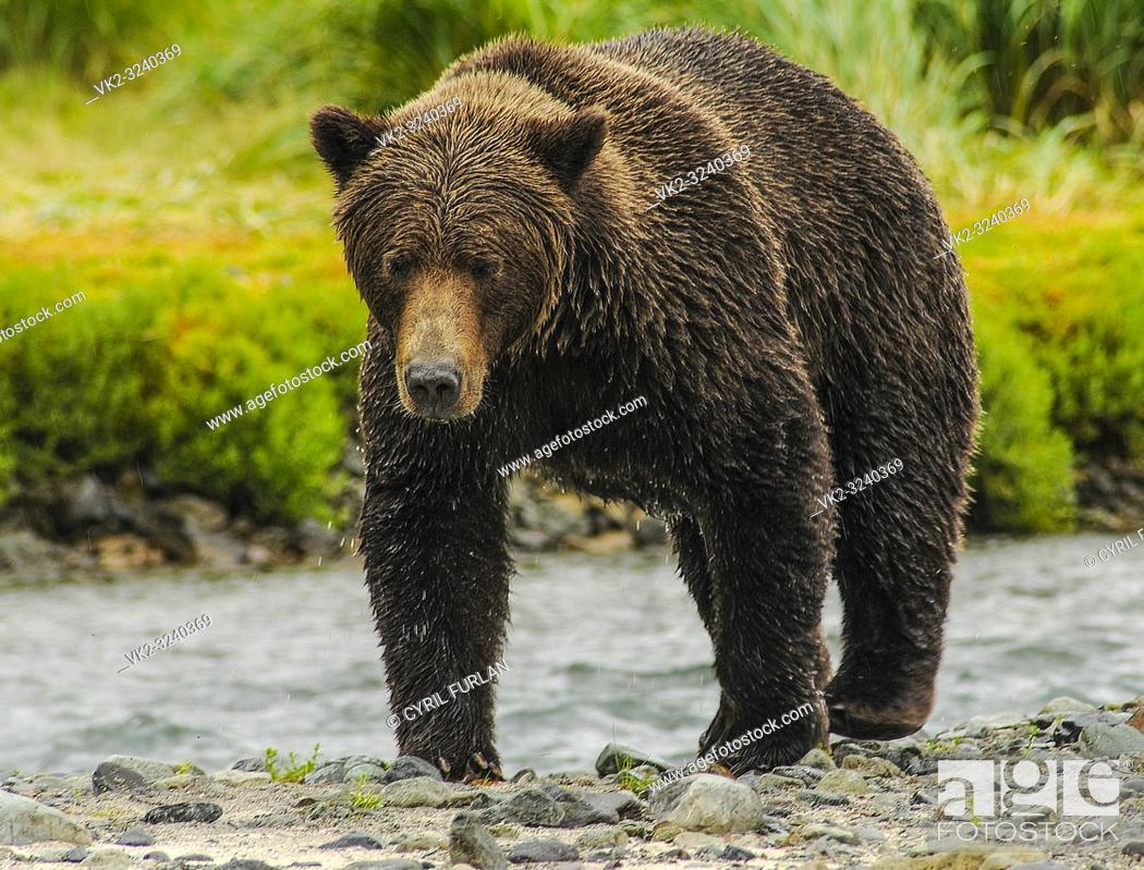 Stock Photo: Female Grizzly Walking Along Stream Katmai National Park Alaska.