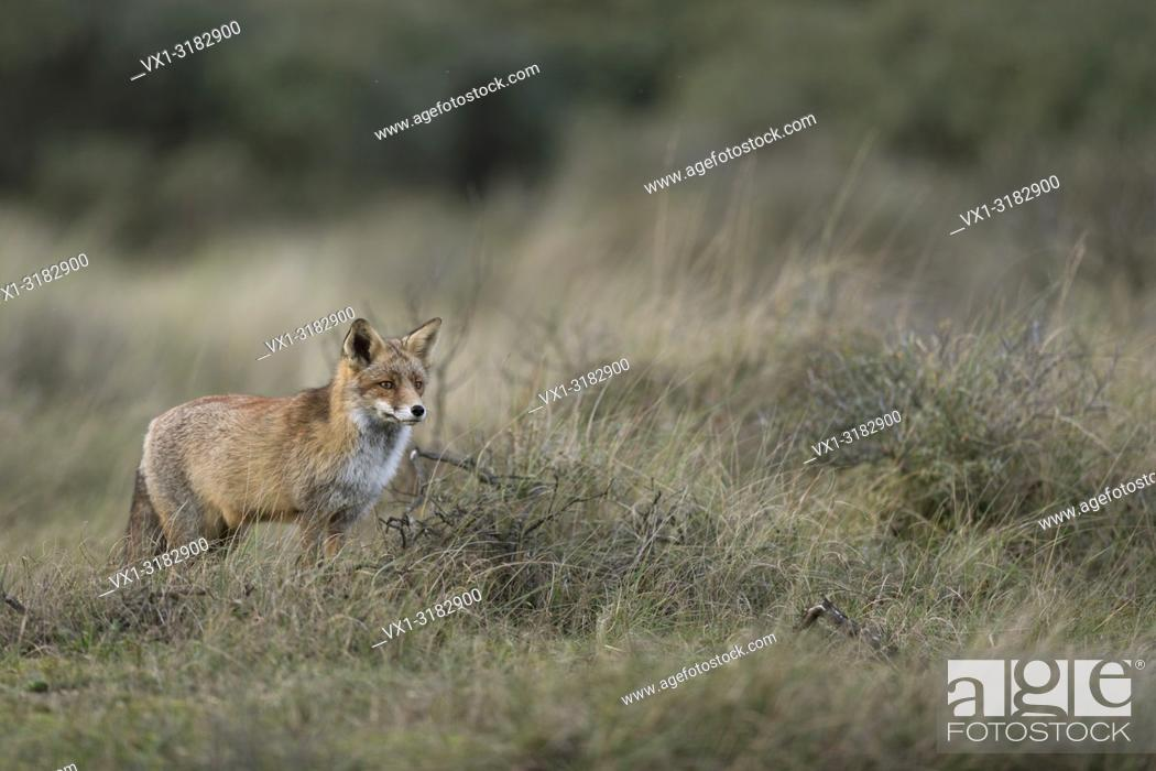 Photo de stock: Red Fox ( Vulpes vulpes ) adult, standing, hunting in grasslands, watching, in typical pose, nice surrounding and colours, , wildlife, Europe.