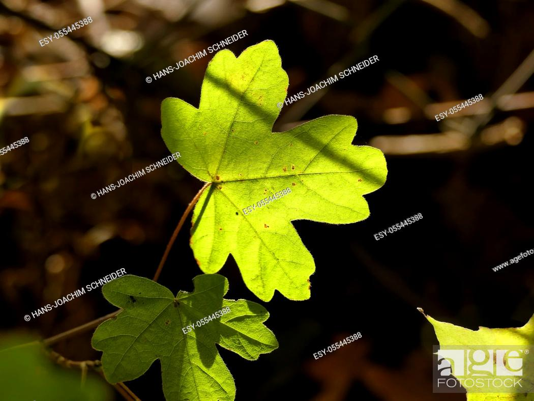 Stock Photo: autumnal colored maple leaf in backlit.