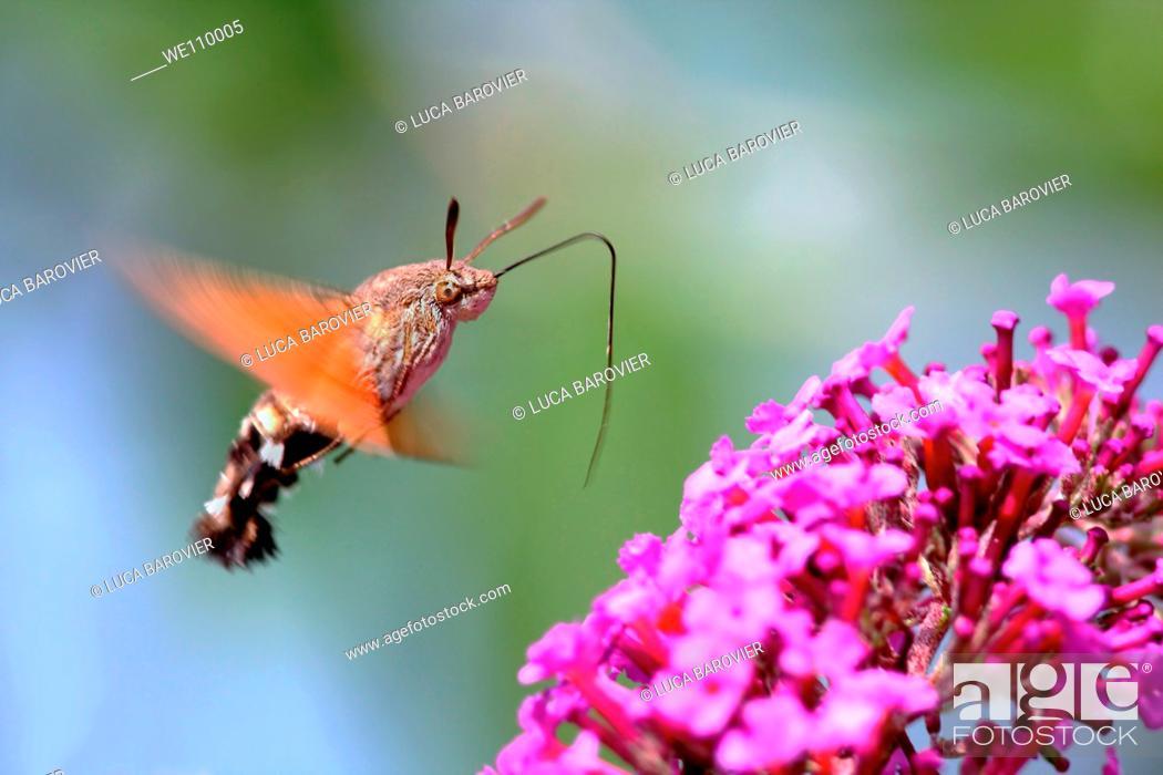 Stock Photo: Macroglossum stellatarum - A bug very similar to a hummingbird.