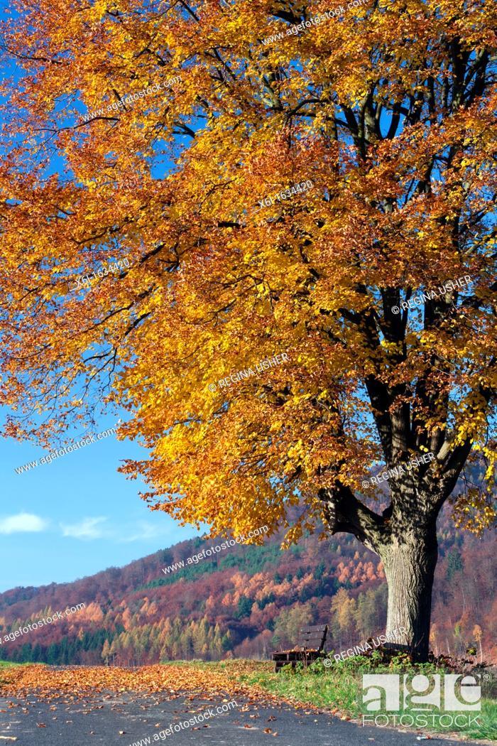 Stock Photo: Common Lime Tree Tilia europaea, in Autumn Colour, Hessen, Germany.