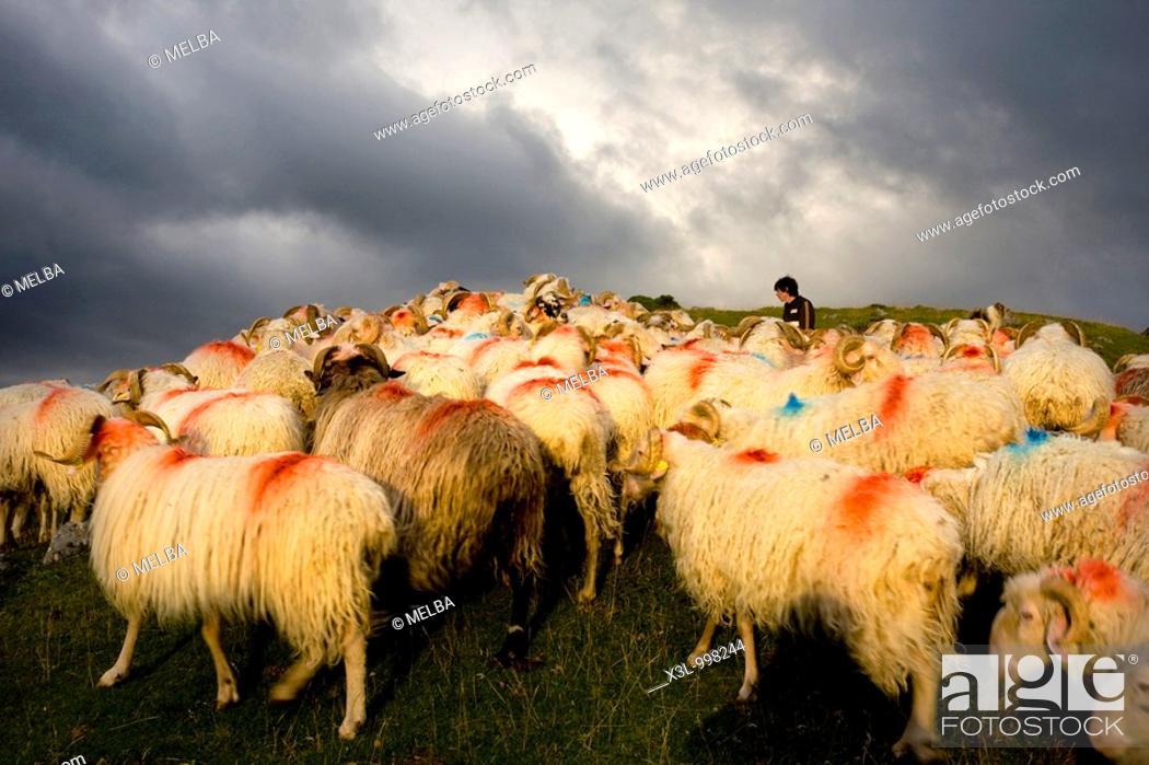 Stock Photo: Flock of sheeps  Belagua valley  Navarra  Spain.