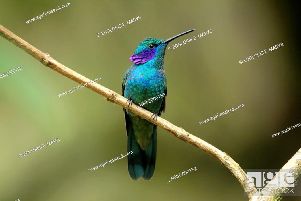Stock Photo: Green Violetear hummingbird San Eusebio Cloud Forest Venezuela.