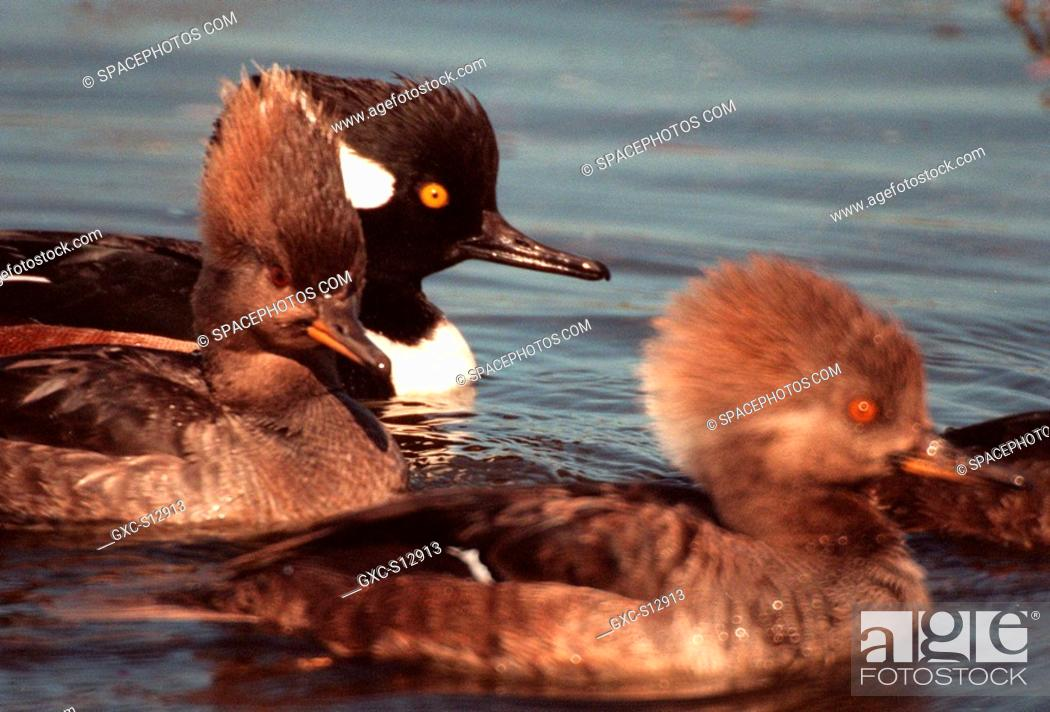 Stock Photo: 01/25/1999 -- A male and two female hooded mergansers swim in the waters of the Merritt Island National Wildlife Refuge at Kennedy Space Center.