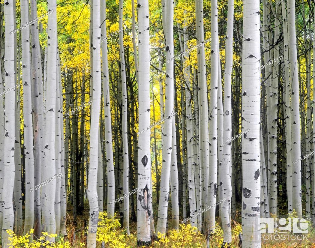 Stock Photo: Mature aspen grove displays fall colors, West Elk Mountains, Gunnison National Forest, Colorado, USA.