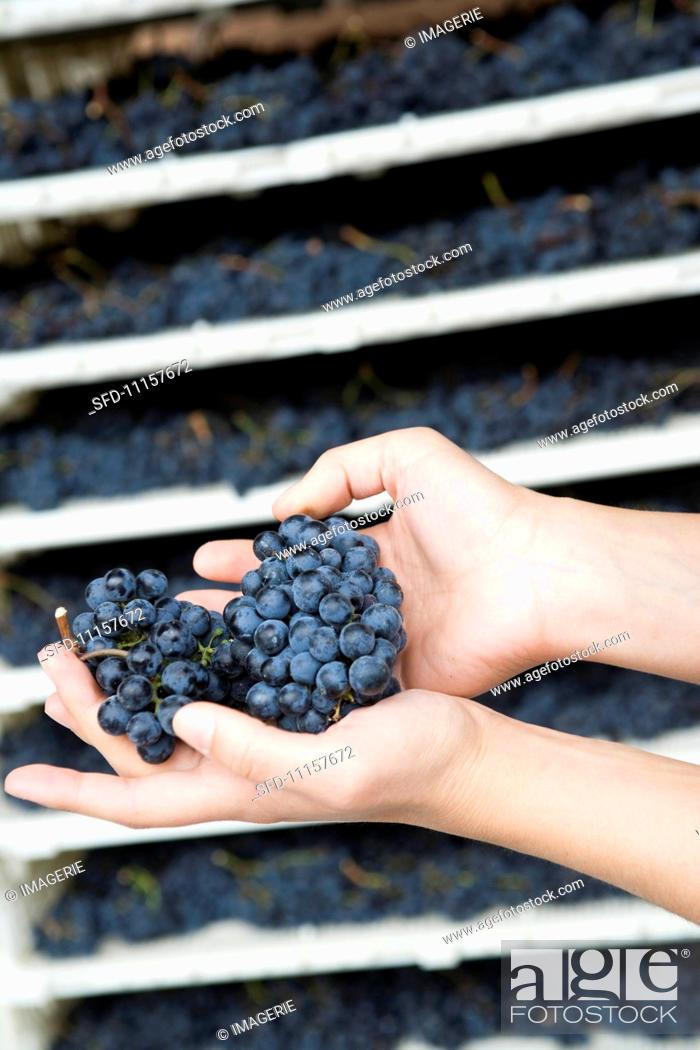 Stock Photo: Hands holding fresh grapes.