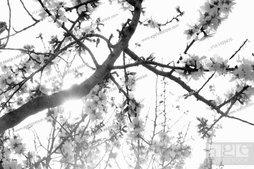 Stock Photo: Almond tree flowers  Prunus dilcis  Black and white.
